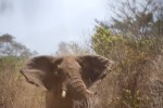 nature – elephant coming close to settlements where there is still water, near meru, kenya